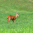 Roe Deer — Stock Photo #7679390