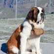 Royalty-Free Stock Photo: St. Bernard Dog