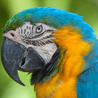 Royalty-Free Stock Photo: Blue-and-yellow Macaw