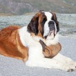 St. Bernard Dog — Stock Photo #7793069