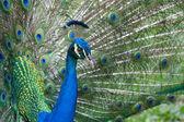 Peacock — Zdjęcie stockowe