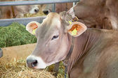 Swiss cow farm — Stock Photo