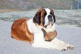 St. Bernard Dog — Stock Photo