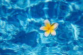 Tropical frangipani flower in water — Foto Stock