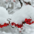 Stock Photo: Service tree and snowcovered red berries