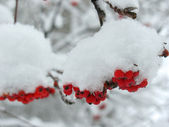Service tree and snowcovered red berries — Stock Photo