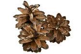 Pine cones. — Stock Photo