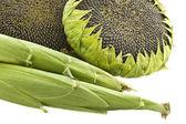 Sonnenblumen und mais. — Stockfoto