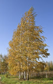 The birch tree in the wind. — Stock Photo