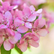 Pink apple tree flowers macro — Stock Photo
