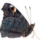 Black emperor moth isolated on white — Stock Photo