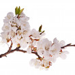 Cherry-tree branch with lot of flowers — Stock Photo