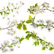 Cherry-tree flowers collection on white — Stockfoto