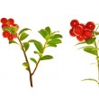 Red cowberries branches collection — Stock Photo