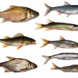 Eight freshwater fishes collection — Stock Photo