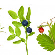 Set of forest berry branches — Stock Photo
