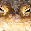 Brown frog portrait macro — Stock Photo