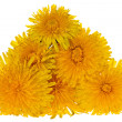 Group of yellow bright dandelions — Stock Photo