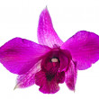 Single purple orchide flower — Stock Photo