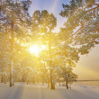 Bright sun in winter pines — Stock Photo