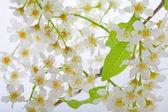 Gewone vogelkers boom bloemen achtergrond — Stockfoto