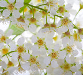 White bird cherry tree flowers macro — Stock Photo
