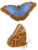 Bleu deux côtés morpho — Photo
