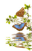 Cherry branches with morpho and reflection — Stock Photo