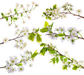 Cherry-tree flowers collection on white — Stock Photo