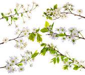Beyaz kiraz ağacı çiçek koleksiyonu — Stok fotoğraf