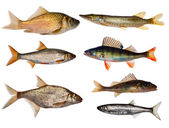Seven freshwater fishes collection — Stock Photo