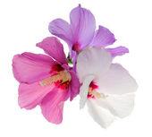 Three flowers isolated on white — Stok fotoğraf