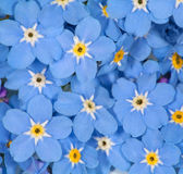 Small blue forget-me-not flowers background — Stock Photo