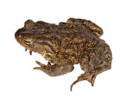 Isolated frog top view — Stock Photo