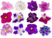 Set of twelve isolated violets — Stock Photo