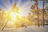 Luz del sol en el bosque de pinos de nieve — Foto de Stock