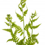Three green fern branches on white — Stock Photo #7199224