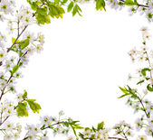 Cherry-tree flowers isolated frame — Stock Photo