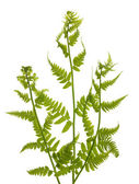 Three green fern branches on white — Stock Photo