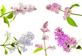 Set of isolated lilac flowers — Stock Photo