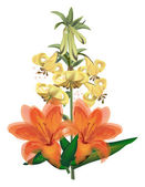 Isolated orange and white lily flowers — Stock Vector