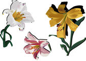Three color lily flowers isolated on white — Stock Vector