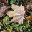 Frost Leaves — Stockfoto #7461961