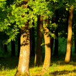 Stock Photo: Oak forest