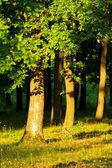 Oak forest — Stock Photo