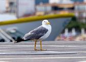Чайка — Стоковое фото