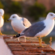Seagulls — Stock Photo #7789468
