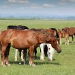 Stock fotografie: Horses in pasture