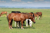 Horses in pasture — Stok fotoğraf