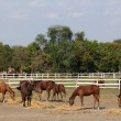 Herd of horses in corral — Stock Photo